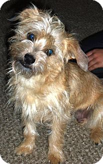 Border Terrier/Terrier (Unknown Type, Small) Mix Dog for adoption in Mission Viejo, California - COOPER