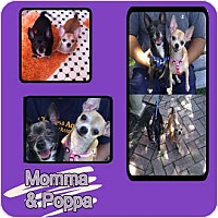 Adopt A Pet :: MOMMA - Hollywood, FL