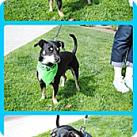 Dachshund/Terrier (Unknown Type, Medium) Mix Dog for adoption in Bakersfield, California - Shadow