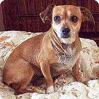 Dachshund/Chihuahua Mix Dog for adoption in Coal City, West Virginia - Sally