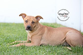 Labrador Retriever/Rhodesian Ridgeback Mix Dog for adoption in Long Beach, California - Honey
