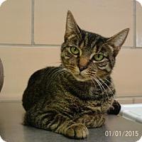 Domestic Shorthair Cat for adoption in Renfrew, Pennsylvania - Destiny