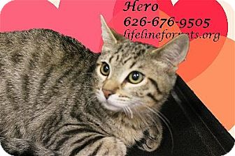 Domestic Shorthair Kitten for adoption in Monrovia, California - A Kitten Boy: HERO