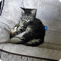 Domestic Mediumhair Kitten for adoption in Prescott, Arizona - Aurora