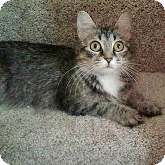 Domestic Shorthair Cat for adoption in Arlington, Virginia - Tilly