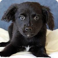 Adopt A Pet :: Josh - Waldorf, MD