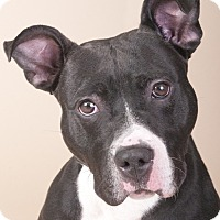 Adopt A Pet :: King - Chicago, IL