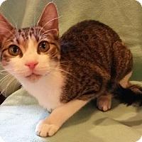 Domestic Shorthair Cat for adoption in Attalla, Alabama - George