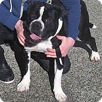 Adopt A Pet :: BORIS (Auburn) hiking & lazing boy - Bainbridge Island, WA