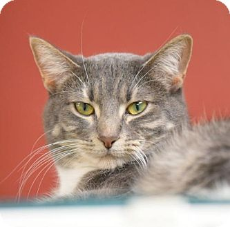 Domestic Shorthair Kitten for adoption in St. Paul, Minnesota - Pickle and Pippa