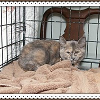 Domestic Shorthair Cat for adoption in Island Heights, New Jersey - Debbie