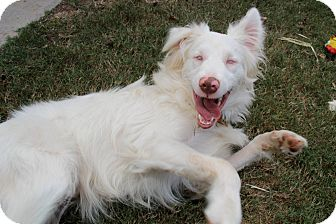 Australian Shepherd Mix Dog for adoption in Chattanooga, Tennessee - Zonder