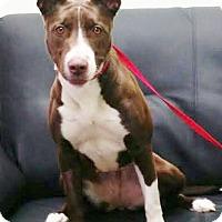 Adopt A Pet :: Brandi-darling bully babe! - Snohomish, WA