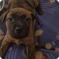 Adopt A Pet :: Ginger - Mansfield, TX