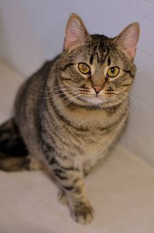 Domestic Shorthair Cat for adoption in Geneseo, Illinois - Wrangler