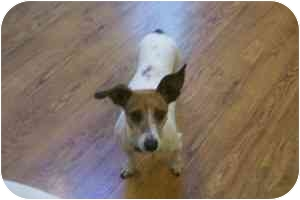 Jack Russell Terrier/Dachshund Mix Dog for adoption in Omaha, Nebraska - Bunny