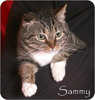 Domestic Shorthair Cat for adoption in Nashville, Tennessee - Sammy