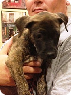 Pit Bull Terrier Mix Puppy for adoption in Montgomery, Illinois - Ryder