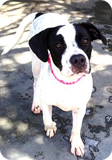 Pointer/Boston Terrier Mix Puppy for adoption in Miami, Florida - Jasmine