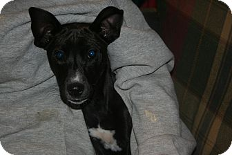 Terrier (Unknown Type, Small) Mix Puppy for adoption in Morgantown, West Virginia - Jersey