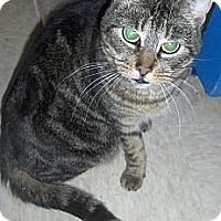 Domestic Shorthair Cat for adoption in Middletown, Connecticut - Wendy