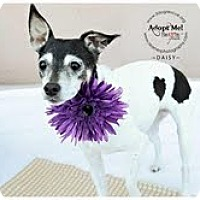 Adopt A Pet :: Miss Daisy - Shawnee Mission, KS