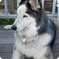 Adopt A Pet :: Nico - East McKeesport, PA