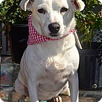 Terrier (Unknown Type, Medium)/Beagle Mix Dog for adoption in San Diego, California - Blanquita