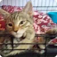 Adopt A Pet :: Tidbit - North Highlands, CA