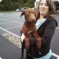 Adopt A Pet :: Brownie - Midlothian, VA