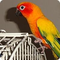 "Adopt A Pet :: Sun Conure ""Rainbow"" Tame Boy - Vancouver, WA"
