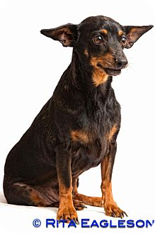 Manchester Terrier Mix Dog for adoption in Phoenix, Arizona - Ralph