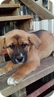 Coonhound (Unknown Type)/Chow Chow Mix Puppy for adoption in Kingsland, Texas - NutMeg