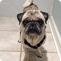Adopt A Pet :: 2016-3016 Max (ADOPTION PENDING) - Summerfield, NC