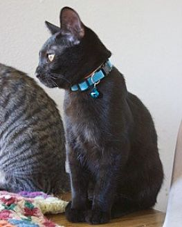 Domestic Shorthair Kitten for adoption in Orland, California - Zeke - Pink group
