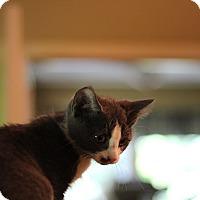 Adopt A Pet :: Drizzle - Richmond, VA