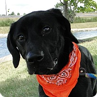 Labrador Retriever Mix Dog for adoption in Austin, Texas - LuLu