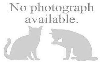 Domestic Shorthair Cat for adoption in Hampton, Virginia - PATERSON