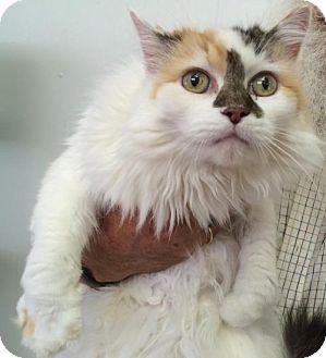 Domestic Longhair Cat for adoption in Harrisonburg, Virginia - Emma
