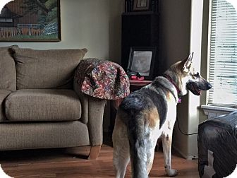 German Shepherd Dog Dog for adoption in Woodinville, Washington - Emme