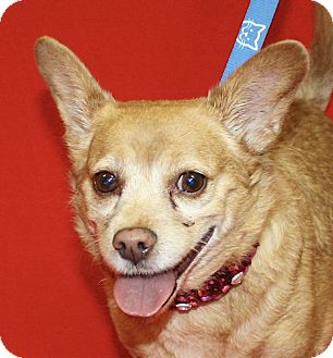 Chihuahua Mix Dog for adoption in Jackson, Michigan - Roy