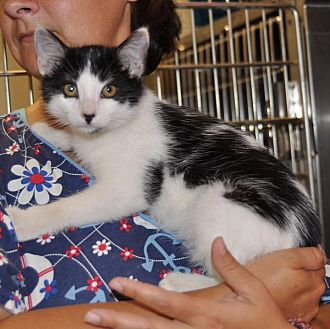 Domestic Mediumhair Kitten for adoption in Sunrise Beach, Missouri - Swirl