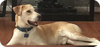 Labrador Retriever Dog for adoption in Purcellville, Virginia - Skipper