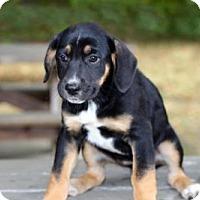 Adopt A Pet :: PUPPY VIOLET - Salem, NH