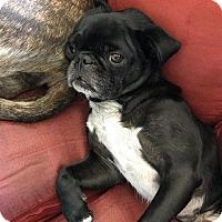Adopt A Pet :: Charlie - Gardena, CA