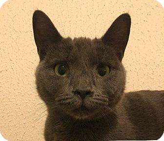 Russian Blue Cat for adoption in New York, New York - Phoebe