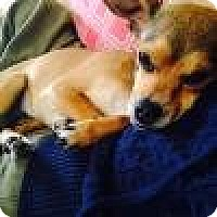 Dachshund Mix Puppy for adoption in Beverly Hills, California - Tulip