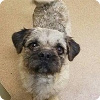 Pug/Terrier (Unknown Type, Medium) Mix Dog for adoption in Apple Valley, California - Murphy #162484