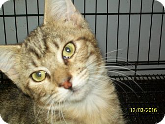 Domestic Shorthair Cat for adoption in Mexia, Texas - Ford