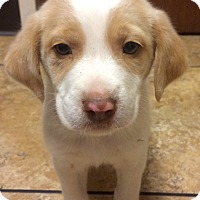 Adopt A Pet :: Boots - Rochester, NH